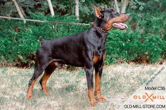 Doberman Collar with D-ring for Leash Attachment