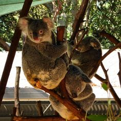 #koala at #currumbinwildlifesanctuary #goldcoast #australia by jamesooi http://ift.tt/1X9mXhV