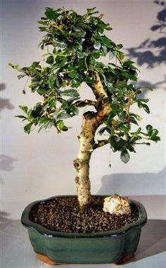 Flowering tamarind bonsai tree tamarindus indica oxemize flowering tamarind bonsai tree tamarindus indica oxemize flowering fruiting trees pinterest tamarind indoor bonsai tree and drip tray mightylinksfo