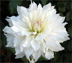 Swan Island Dahlias ICEBERG - Item #033  Order @ Swan Island Dahlias  Inspirations  |  Brides & Groom
