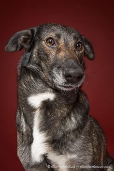 """German photographer Elke Vogelsang (aka Wieslblitz) has a knack for capturing expressive portraits of our canine friends. Last year, we shared their goofy personalitiesin a series of delightful images. Now, Vogelsang has pivoted from their playfulness and explores pups' skeptical side. Her latest series features """"dogs questioning the photographer's sanity,"""" as they grimace, roll their eyes, and generally look miffed. We can't help think we've done something wrong! These canines weren't…"""