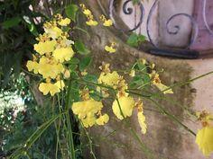 Orquídea (Pingo de Ouro)