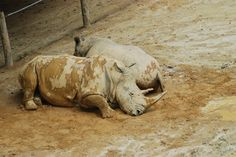 Happy as a rhino in mud. Richmond Zoo, August 2016