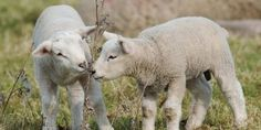 JUSTICE FOR LAMBS BEATEN TO DEATH BY TEENAGERS IN HOUNSLOW PARK!