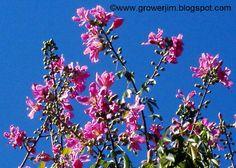 Garden Adventures: Ceiba speciosa (Floss Silk Tree)