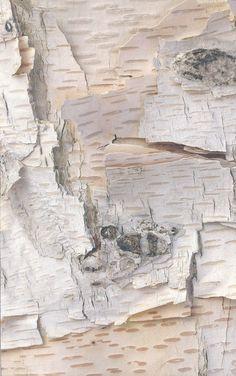 foto de alika mirenireny: bouleaux du monde entier..http://www.cedric-pollet.com/