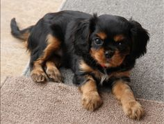 Cavalier King Charles Spaniel - This little guy has the same coloring as my handsome cavalier.  It took me 3 years to decide to get a puppy and it was one of the best decision Ive made.
