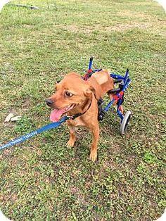 Key Biscayne, FL - Terrier (Unknown Type, Medium) Mix. Meet Pluto, a dog for adoption. http://www.adoptapet.com/pet/15121526-key-biscayne-florida-terrier-unknown-type-medium-mix