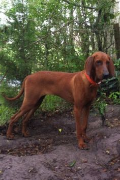 redbone coonhound | redbone coonhound Hunting Dogs For Sale in Lafayette - Louisiana ...