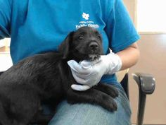 08/19/17 ~EXTREMELY URGENT - local foster needed❗~ HOUSTON-This DOG - ID#A491069  I am a male, black and white Terrier.  The shelter staff think I am about 10 weeks old.  I have been at the shelter since Aug 19, 2017.  This information was refreshed 20 minutes ago and may not represent all of the animals at the Harris County Public Health and Environmental Services.
