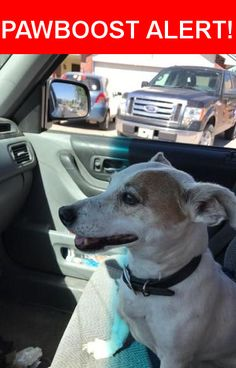 Is this your lost pet? Found in Las Cruces, NM 88001. Please spread the word so we can find the owner!  white with beige spotting. Tan patch above right eye. Small- medium squatty dog. Very mellow and friendly. Docked tail. Black leather(?) collar  Nearest Address: Griggs & Butler