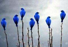Blue birds...so pretty.