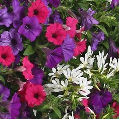 Annual Combination (Grandiose)Three in one plant combination! Enjoy the beautiful colors of Supertunia® Sangria Charm, Supertunia® Indigo Charm, and Whirlwind® White Scaevola planted in your landscape or in your container gardens.