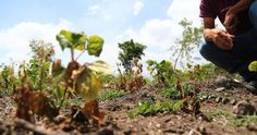 La sequía sigue ocasionando estragos en la producción hondureña BCH presentará informe sobre impacto económico de la sequía