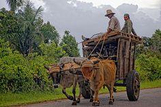 Oxen X-ing  #Cuba #Farming #Oxen