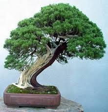 Image result for bonsai shakan