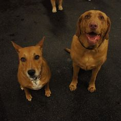 Brooklyn & Maggie, keeping it real on the large dog yard this weekend   Brooklyn enjoys chasing her tail. Maggie likes to mosey in between the legs of of the staff for some lovin. Can you dig it!? #doglife