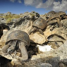 Photograph by Giant tortoises on Aldabra have their own way to keep cool: They go caving! For these reptiles living on this Seychelles atoll you either find a way to get out of the sun or you cook to death in your own shell. To avoid this Baby Tortoise, Giant Tortoise, Tortoise Turtle, Sulcata Tortoise, Tortoise Cage, Reptiles And Amphibians, Mammals, Young Animal, Keep Cool