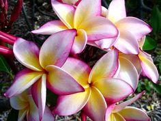 Plumeria, Frangipani, Tempelbaum, westindischer Jasmin, Pagodenbaum, Plumeriagalerie, Bilder, Fotos, Pflegeanleitung