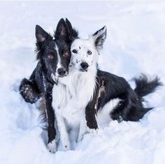 What gorgeous Border Collies!