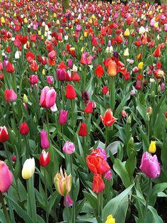 Tulpen in de Keukenhof (tulips in Keukenhof)