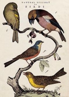 Natural History of Birds, paper printed in Italy
