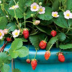 How to Grow Fruit in Pots: Organic Gardening