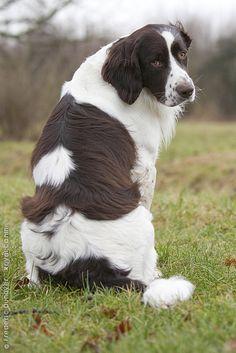 Drentse Patrijshond / Drent / Dutch Partridge Dog / Spaniel-type hunting dog of Netherlands