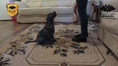Novice Trick Dog - Speak - with Cimarron Uruguayo from Cerberus Illusion...