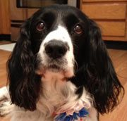 Tyler-GA is an adoptable English Springer Spaniel Dog in Flowery Branch, GA. Age: 9 years Gender: Male Color: Black & White Weight: 50 lbs Variety: Field   http://www.petfinder.com/petdetail/23411401