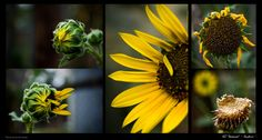 The Sunflower by *Pilic on deviantART