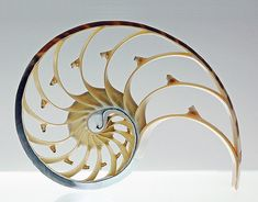 A section of a Nautilus Shell. I purchased a Nautilus Shell and requested it to be cut into sections. I received 3 sections, so cool! My Favorite Shell Specimen! The Golden Mean, Golden Rule, Spirals In Nature, Fibonacci Spiral, Fibonacci Tattoo, Cross Section, Nautilus Shell, Golden Ratio, Intelligent Design