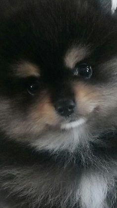 Marvelous Pomeranian Does Your Dog Measure Up and Does It Matter Characteristics. All About Pomeranian Does Your Dog Measure Up and Does It Matter Characteristics. Cute Puppies, Cute Dogs, Dogs And Puppies, Doggies, Animals And Pets, Cute Animals, Akc Breeds, Puppy Breeds, Save A Dog