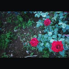 東京のバラは今週末がピーク 天気も良いので撮影日和 roses #rose #flower #garden #redrose #qx100 #バラ #薔薇 #花