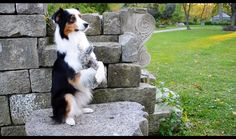This just might be the cutest trick in the book – there is nothing more adorable than a dog that hugs. Cohen the Australian Shepherd is a trick dog extraordinaire, trained solely by her amazingly creative and talented mom, Jessica …