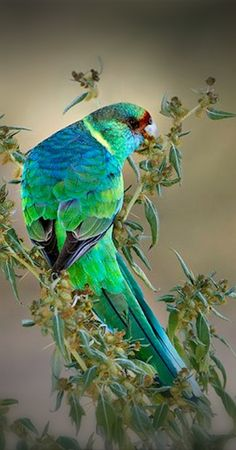 Australian Ringneck - Mother Nature has never been so stylish! - 2013 Color of the Year: Emerald Green