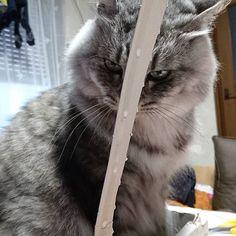 朝から遊んであげようと思って、ラップの使い始めに出る所を苺の箱に刺して、じゃれてくれると思いきや、この顔😱され😅  朝からオイオイ😥でした。 可愛い顔して頂戴よ😅  #怖い顔をする猫#イカ耳猫#怒ってる猫#サバトラ猫#愛猫#愛する猫#猫のいる生活#ママカメラ#ネコ部#箱が好きな猫#長毛種#ねこ #ねこすきさんとつながりだい#ねこ部#ねこら部#にゃん#にゃんこ#にゃんにゃん#ふわふわ猫#猫と一緒#猫が好き#猫は家族#猫に癒やされる#cat#catstagram#cats#instagramcat#instacats#cattherapy