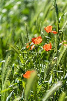 Mohn-Wiese Flowers, Plants, Sun Rays, Poppy, Travel Advice, Viajes, Plant, Royal Icing Flowers, Flower