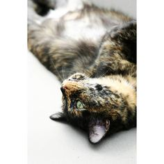 20 Cool Pictures of Calico Cats ❤ liked on Polyvore featuring animals