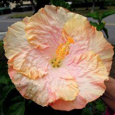 """""""Taiwan Clowd""""....Exotic hibiscus ....Linda Lee..."""
