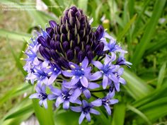Caribbean lily - Google Search