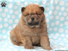 5682 Best Chow Chows Images In 2019 Pets Cubs Chow Chow Dogs