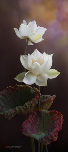 Natalie loved the lotus flowers very much. Natalie, the lotus flowers are as beautiful and pure as you. Exotic Flowers, Amazing Flowers, My Flower, White Flowers, Beautiful Flowers, Flower Art, Beautiful Artwork, Deco Floral, Art Floral