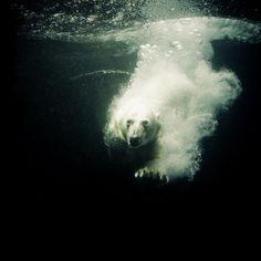 diving-ice-bear by ralf_k, via Flickr