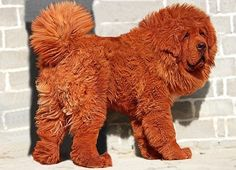Red Tibetan Mastiff called Hong Dong. The most expensive dog in the world at $1.5M. Bought by a Chinese Bijillionaire. Fewer than 20 remain in Tibet.