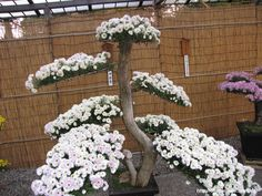 Chrysanthemum Bonsai at the Sorakuen Garden.