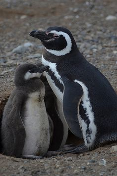 Magellanic Penguins - by Peking. Penguin Bird, Penguin Love, All About Penguins, Cute Penguins, Animals And Pets, Baby Animals, Cute Animals, Galapagos Penguin, Humboldt Penguin
