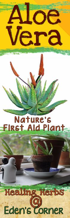 Aloe Vera - Nature's First Aid Plant - Aloe, was once popular in medicine in America during the 1880's, however, like other natural medicines and herbal healing, its popularity waned with the...Nature, and our divine creator have given us all that we need for vibrant health and healing. <3 <3 May health be your journey and wellness your blessing <3 <3