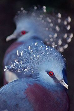Victoria crowned pigeons rockin' their dos.