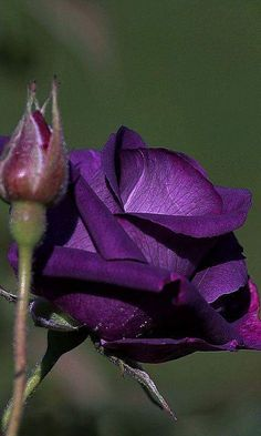 Purple Rose Seeds Rose Seeds Bonsai Flower Rose Seeds 100 Pcs/Pack for sale online My Flower, Pretty Flowers, Purple Flowers, Red Roses, Black Roses, Purple Love, Shades Of Purple, Dark Purple, Rose Violette
